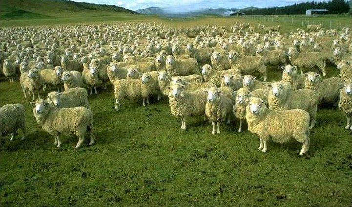 Datei:Gruene Schafe auf Grosser Gruener Wiese.jpg