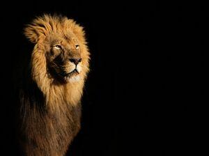 Alpha-male-lion-against-black-background.jpg