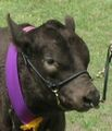 Show halter and nose ring on a bull.jpg